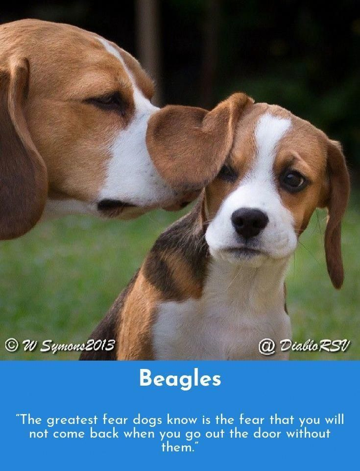 See Our Site For More Details On Beagles It Is A Superb Place To Find Out More Dogs Funny Dog Photos Training Your Dog