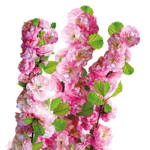 Migdałek trójklapowy (forma pienna) - Prunus triloba(stem)