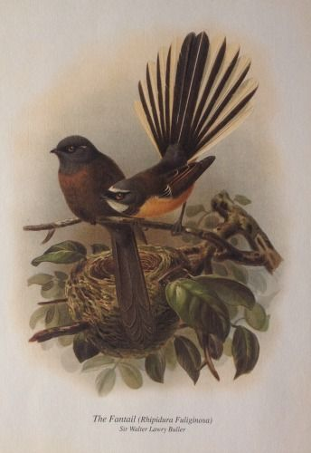 Fantail from Buller's Birds of NZ