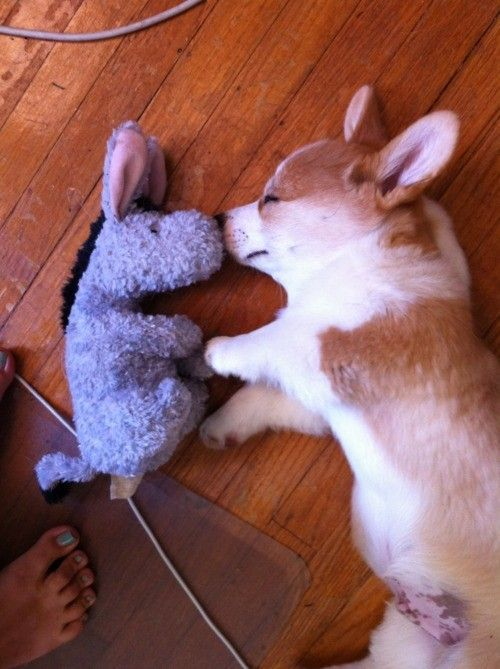A tan and white dog lying on its side sleeping while nuzzling noses with a stuffed animal donkey.