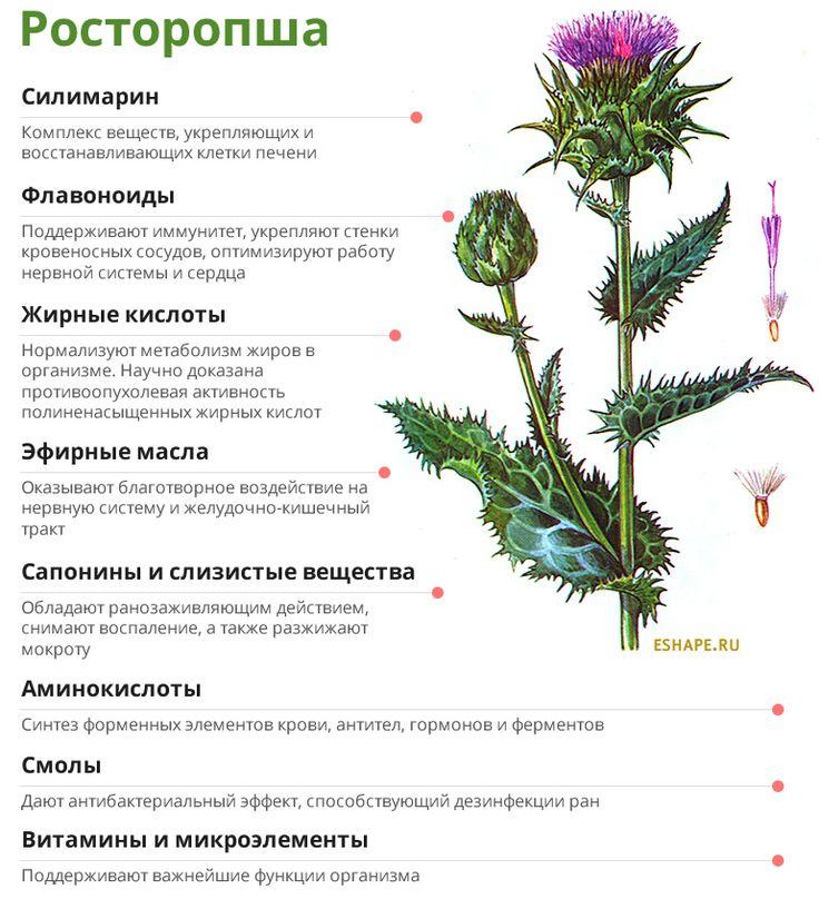 Расторопша: полезные свойства и применение