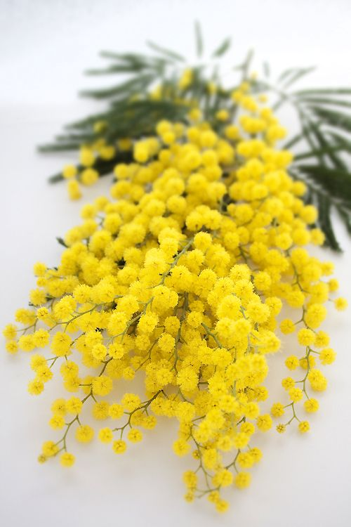 Fresh bouquet of mimosa
