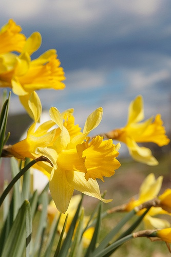Blooming Daffodils by cvilleshutterbug on Flickr.