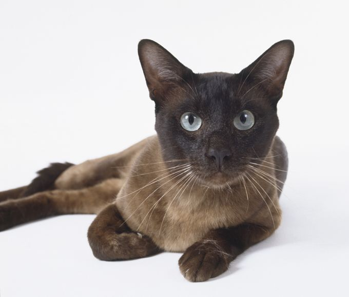 Image result for tonkinese