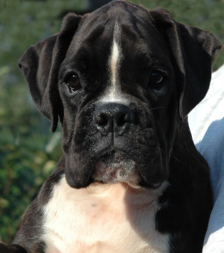 boxer. The black ones are so cute!