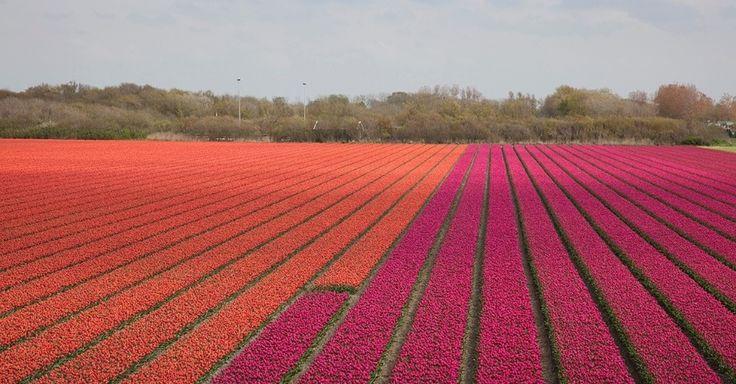 Campos de tulipas na Holanda. Embora os holandeses sejam conhecidos pelo cultivo de tulipas, a maioria das espécies desta flor é originária da Ásia Central