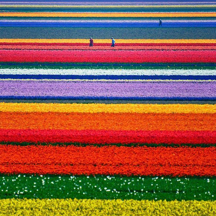 Tulip Fields,Holland