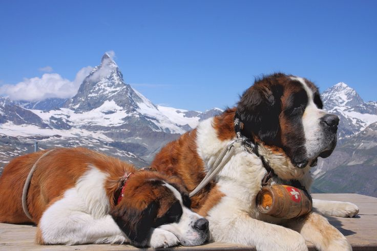 #VetsNorthSomerset The Saint Bernard is a giant, strong, muscular dog. As long as the weight stays in proportion with the height, the taller the dog the more prized it is.