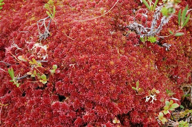 Sphagnum capillifolium: forms hummocks in mires. Sphagnum release H ions which acidify habitat. Resistant to decomposition due to phenolic compounds