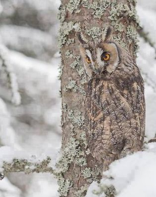 Camouflage -- Long Eared Owl in Snow by Russel Davidson on 500px  Snow camouflage