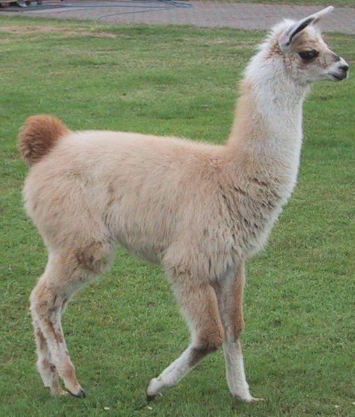 Google Image Result for http://a-z-animals.com/media/animals/images/original/llama5.jpg