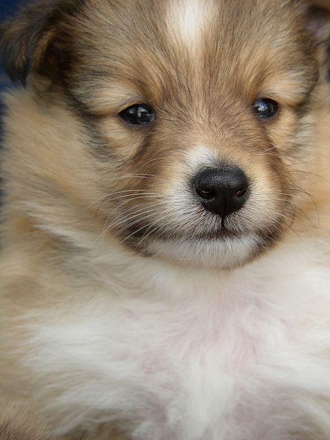4½ weeks old Sheltie puppy