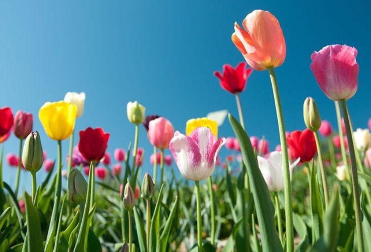 Tulipaner ~ Tulipa