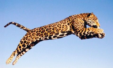 Jaguar Leaping Jumping Jaguars Pinterest Wild Life