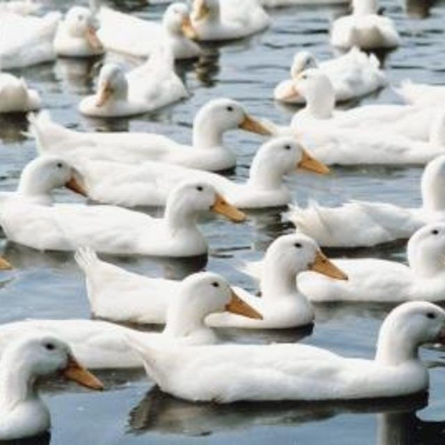 Sexing your Pekin ducks is not difficult.