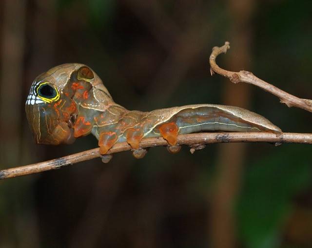 koponya arcú hernyó, veszélyeztetett faj/
