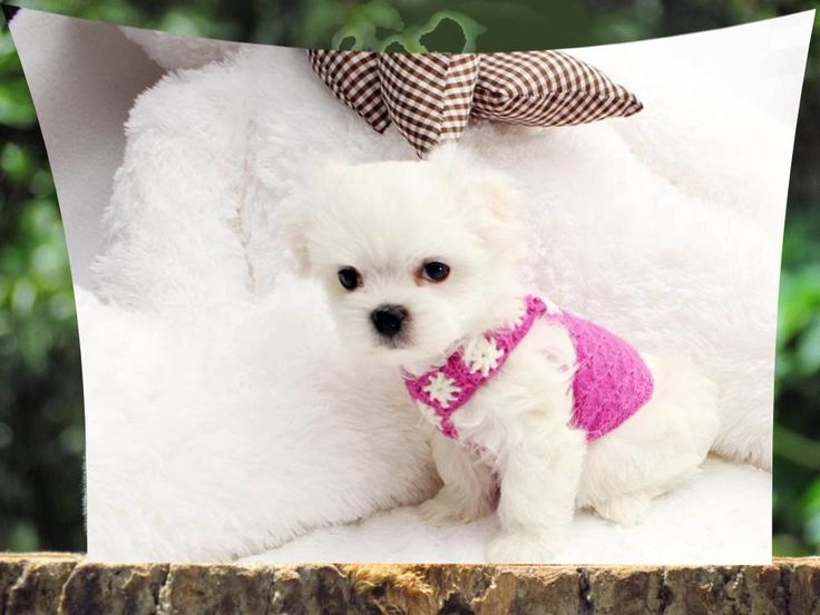 free maltese puppies best 25 free puppies for adoption ideas on pinterest 780