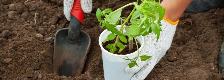 Trapiantare i pomodori nell'orto  Nel mese di giugno si trapiantano nell'orto le piantine di pomodori. Ma attenzione: il terreno deve essere già lavorato. http://www.cosedicasa.com/trapiantare-i-pomodori-nellorto-56691/
