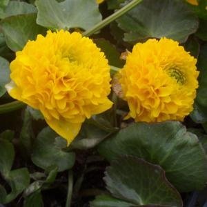 CALTHA PALUSTRIS FLORE PLENO (Double marsh marigold)
