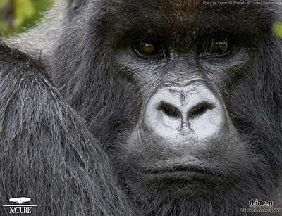 http://animalszooguru.blogspot.com/2010/02/gorilla-photos-pictures-wallpapers.html