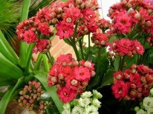 Flores e Folhas - DF: Como cuidar de calandivas
