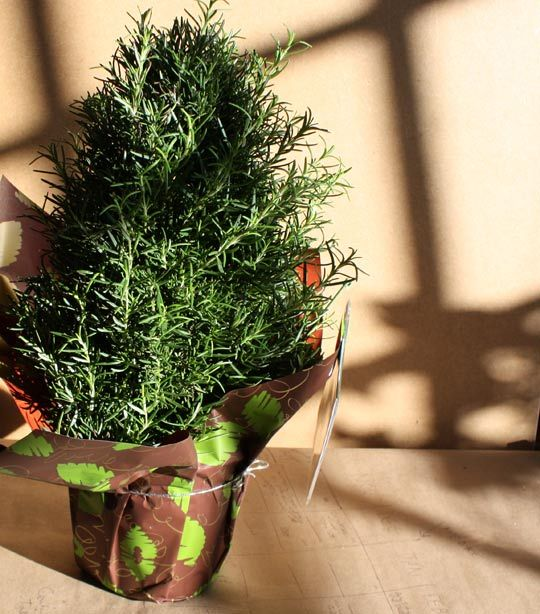 Look Rosemary Trees At Whole Foods Christmas