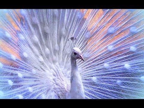 Красавец павлин