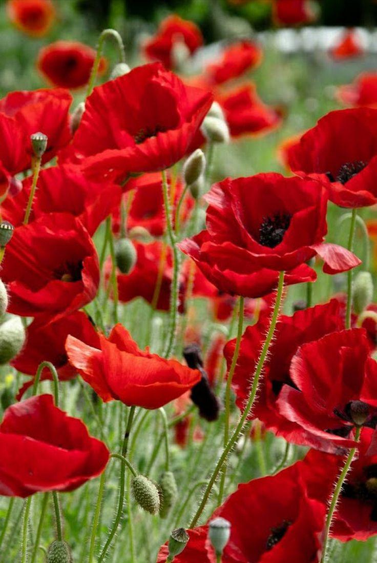 Самые красивые фото красных маков