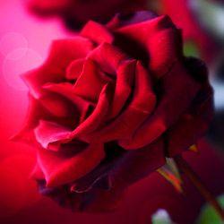les 25 meilleures idées de la catégorie langage des roses sur