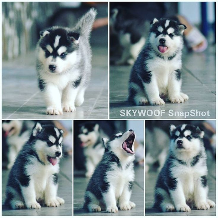 adorable husky puppy cant ho.