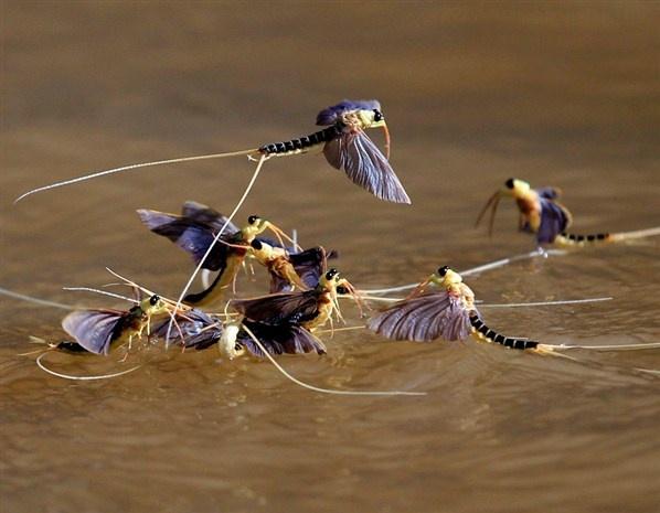Long-tailed mayflies (Palingenia longicauda) mate on the surface of the Tisza river near Tiszainoka