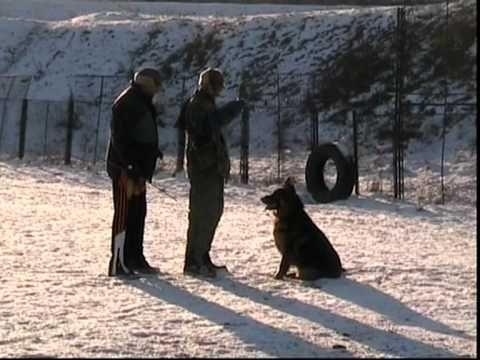 Dresaj canin,agresivitate ciobanesc german - YouTube