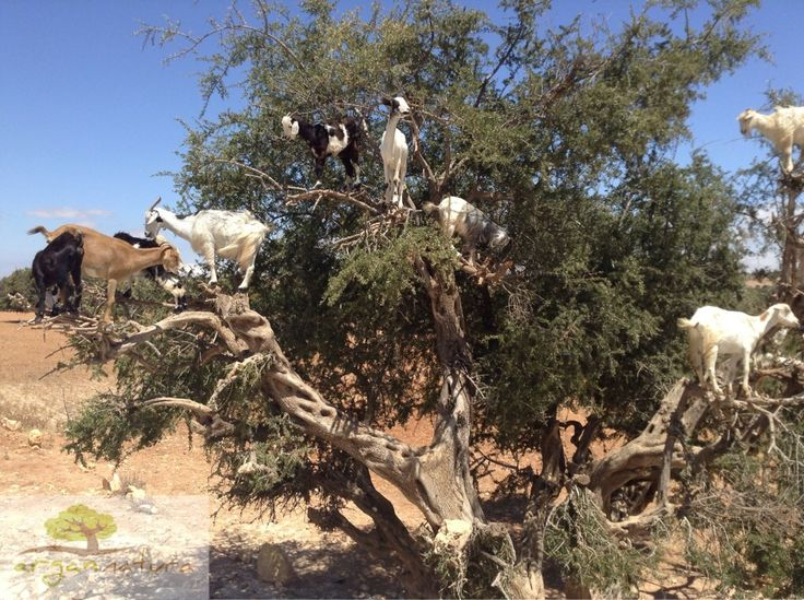 Argánfa kecskékkel csak a turisták kedvéért pakolják fel baksis reményében #argan #argantree #justfortourist #argania