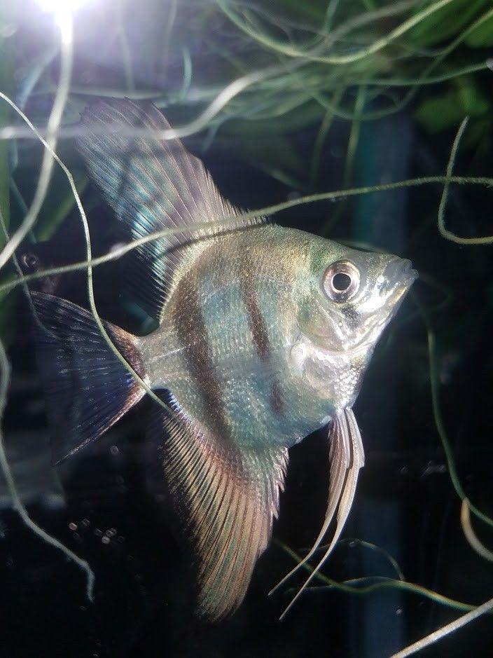 6 Blue Angelfish