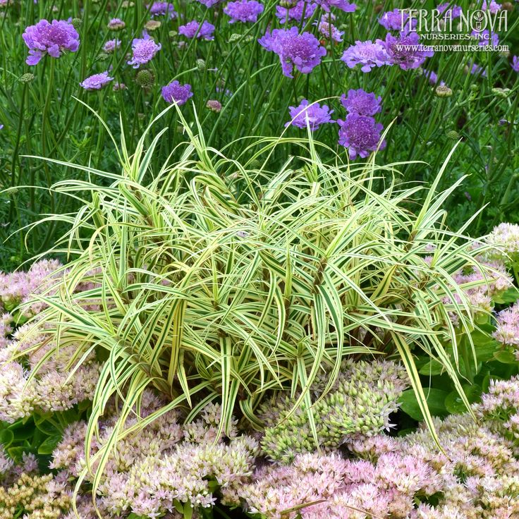 1188 best images about ornamental grasses on pinterest for Short variegated grass
