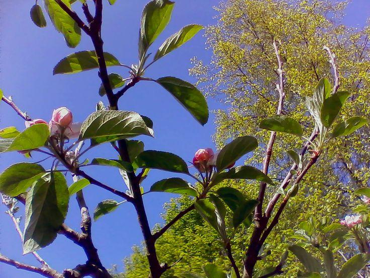 Spring garden, apple blossom.