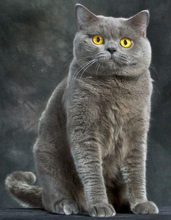 The most beautiful breed of cat in the world. The Blue British Shorthair..... Love lovelove them, I have a 7 month old blue named Jewel!