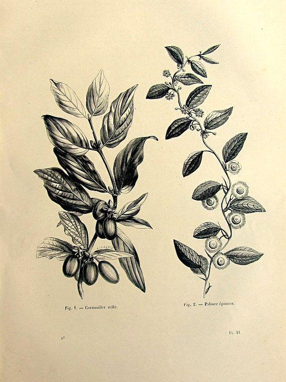 1860 Antik Karneol Kirsche und Christ's Thorn drucken, Vintage Hartriegel Blütenpflanze Gravieren, botanische Blumen Cornus Mas Platte.