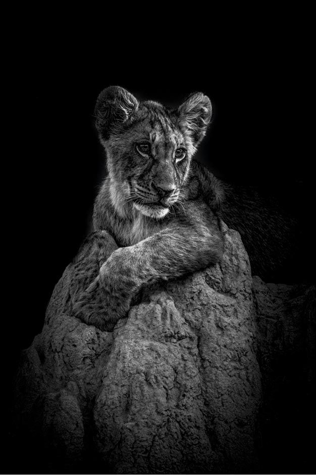 Lion cub on a termite mound. B&W print by wildlife photographer Dave Hamman
