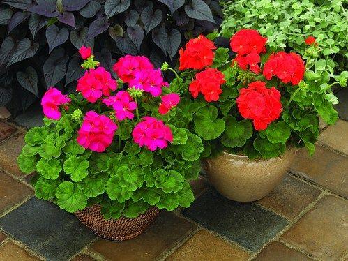 Menanam Bunga Geranium Dari Biji Menanam Geranium bisa dilakukan dengan stek ataupun melalui biji/ benih geranium. Bunga geranium idektik dengan tanaman pengusir nyamuk karena wangi daunnya kurang …