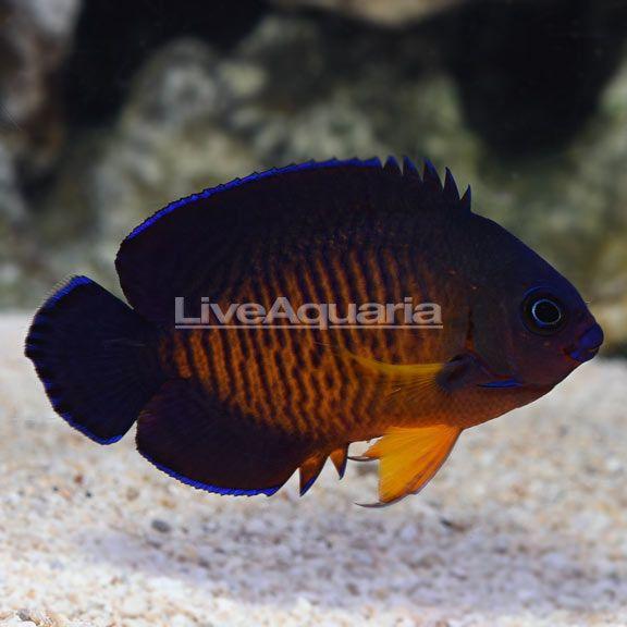 Fijian Coral Beauty Angelfish Marine Aquarium Beautiful Fish Fish Pet