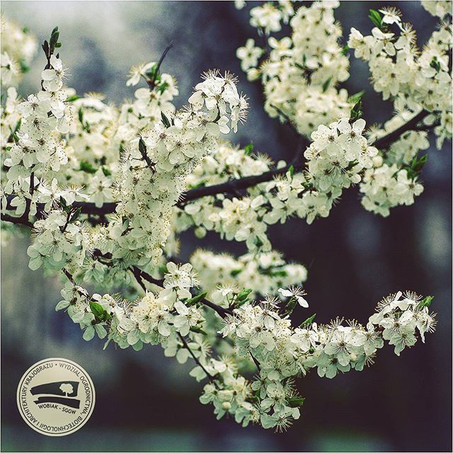 #śliwa domowa #mirabelka#Prunus domesticaL. subsp.syriaca #różowate #kwiaty #białekwiaty #sadownictwo #ogrodnictwo #WOBiAK #SGGW 🌻🌻🌻🍊🍊🍊 #mirabelle #plum ormirabelle #prunePrunus domesticasubsp. syriaca #rosaceae #flowers #whiteflowers #fruitgrowing #horticulture #WULS
