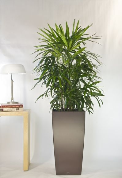 tall office plants. our favorite palms beautiful and elegant these top of the line plants will enhance any interior traditional or contemporary cold hardiness zone 11 to tall office