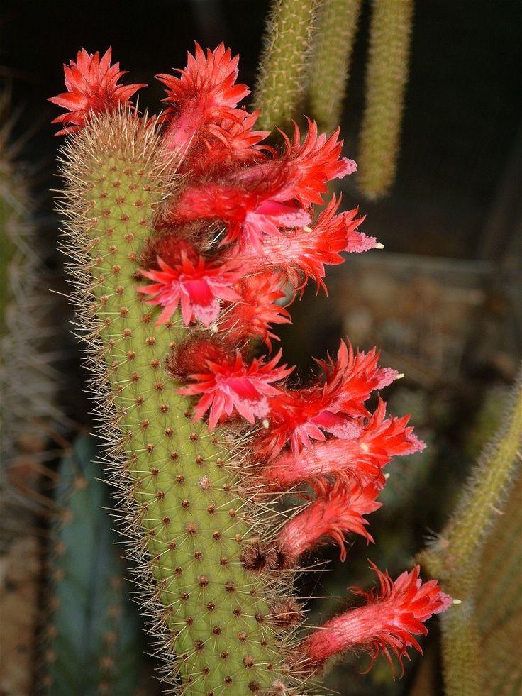 Austrocactus spiniflorus II