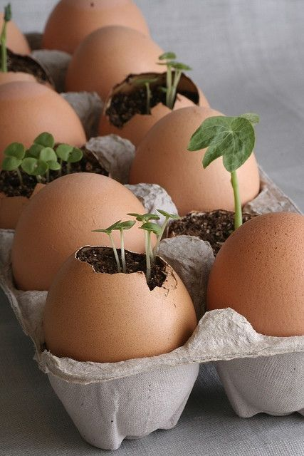 www.kidsdinge.com LOVES,.. Start seedlings in an egg shell and, when ready, plant the entire thing. The egg shells will naturally compost providing valuable nutrients to your plants.  www.kidsdinge.com https://www.facebook.com/pages/kidsdingecom-Origineel-speelgoed-hebbedingen-voor-hippe-kids/160122710686387?sk=wall #kidsdinge #garden #seedlings #eggs
