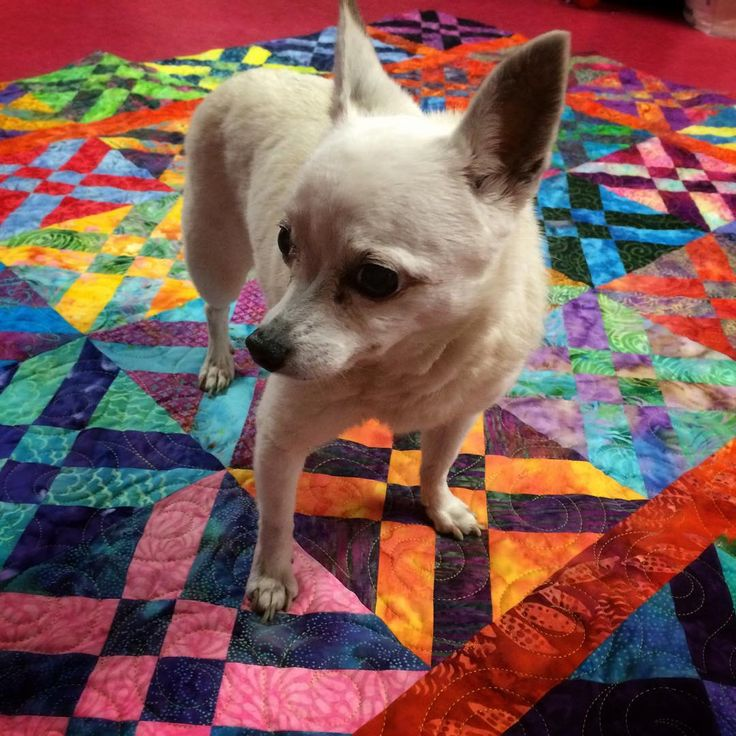 Happiness is the instant approval concerning the newest #personalquilt  Yes she thinks all my quilts are hers. Thankful for the unconditional love from my Pixxie