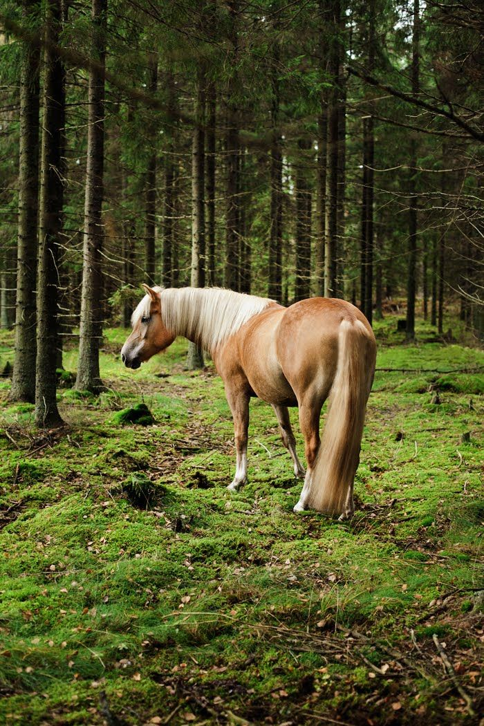 Finnhorse:country of origin - Finland | average height ca. 155 cm (under 147 cm for pony type) | colours - predominantly chestnut, bay/brown, black, rarely dilutes (dun, cream, silver), grey, pinto patterns (sabino, splash white)