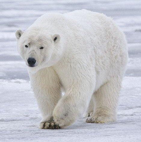 pictures of white polar bears | Doll Diaries: Polar Bears