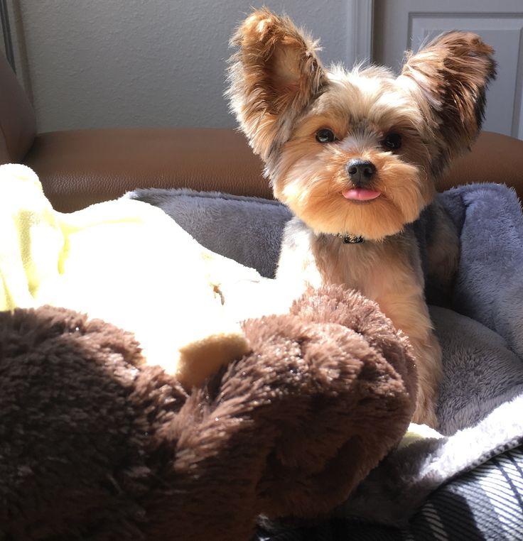 Best 25 Yorkie Terrier Mix Ideas Only On Pinterest