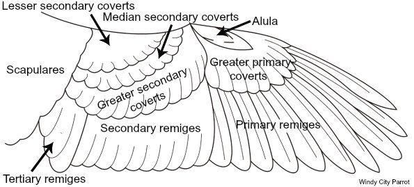 mechanics of your bird u2019s wondrous wings  u2013 what you